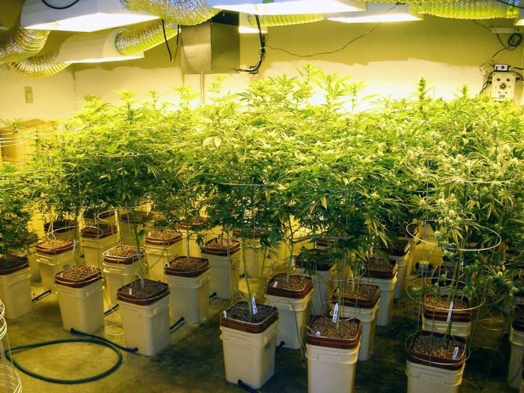 Cómo cultivar en un sistema hidropónico - WeedSeedShop