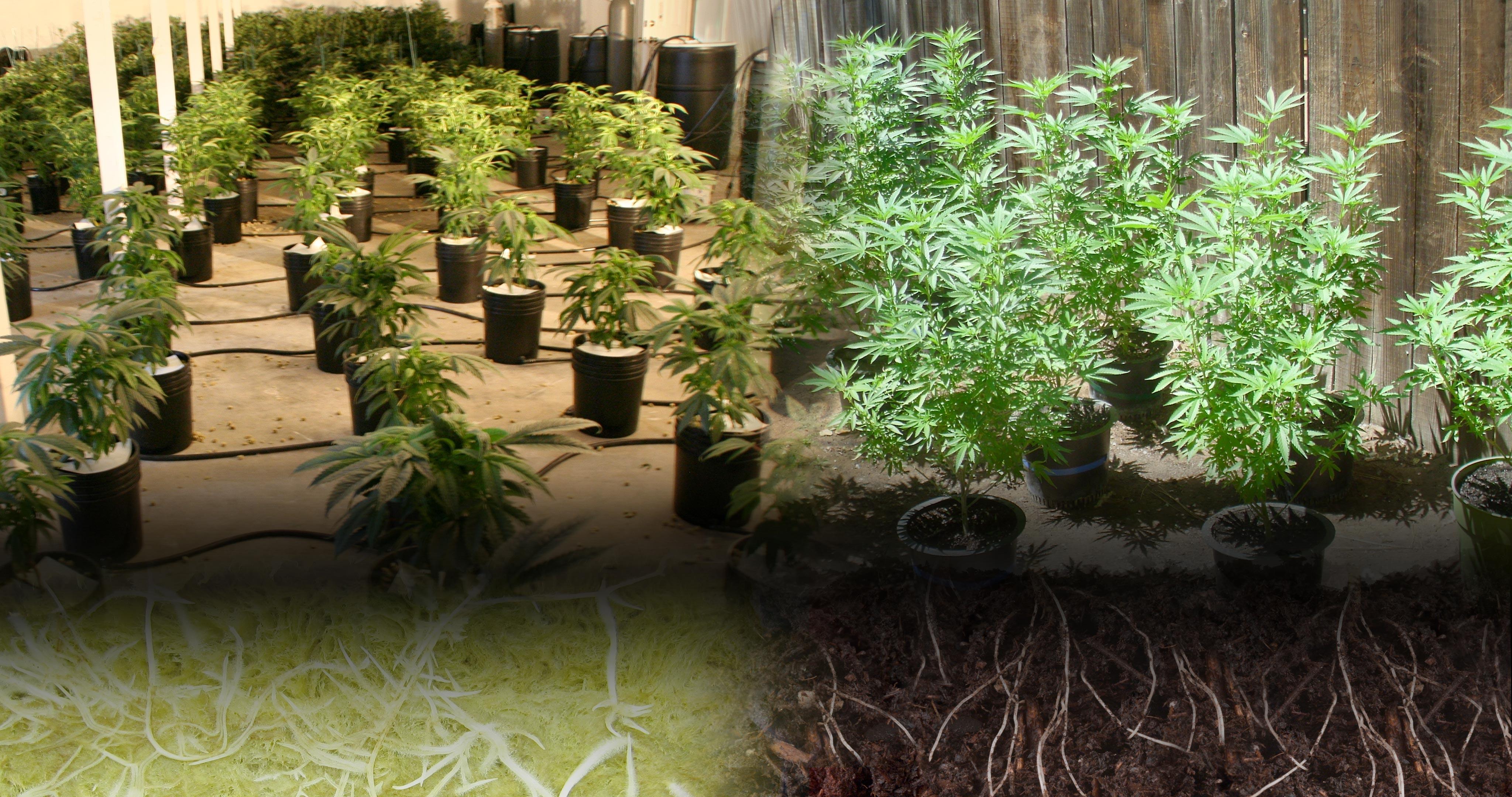 Culture hydroponique vs Culture en terre – WeedSeedShop