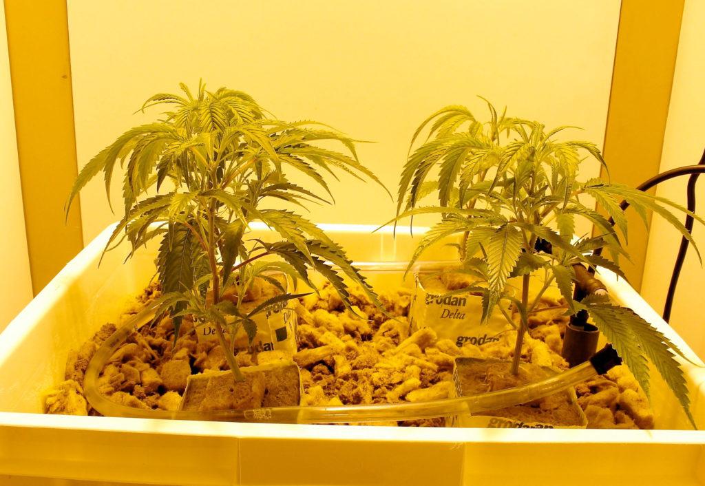Sistema hidropónico vs cultivo en tierra
