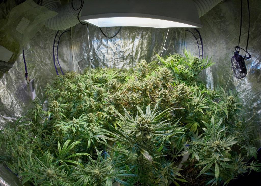 Die beste Temperatur für Cannabis-Pflanzen WeedSeedShop