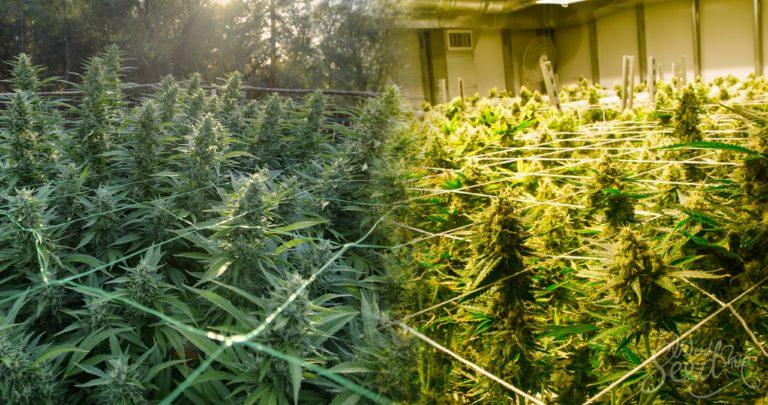 Le Cannabis en Intérieur ou Extérieur : que choisir ?
