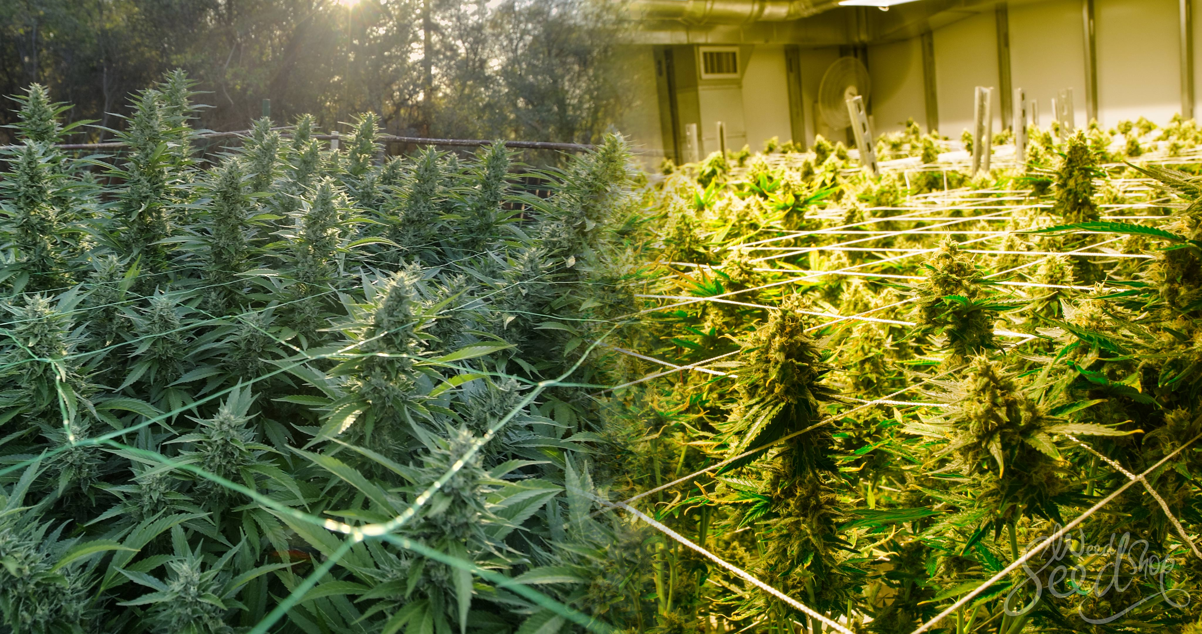 Indoor vs. Outdoor Cannabis Seeds– Which is best for you? - Weed Seed Shop Blog