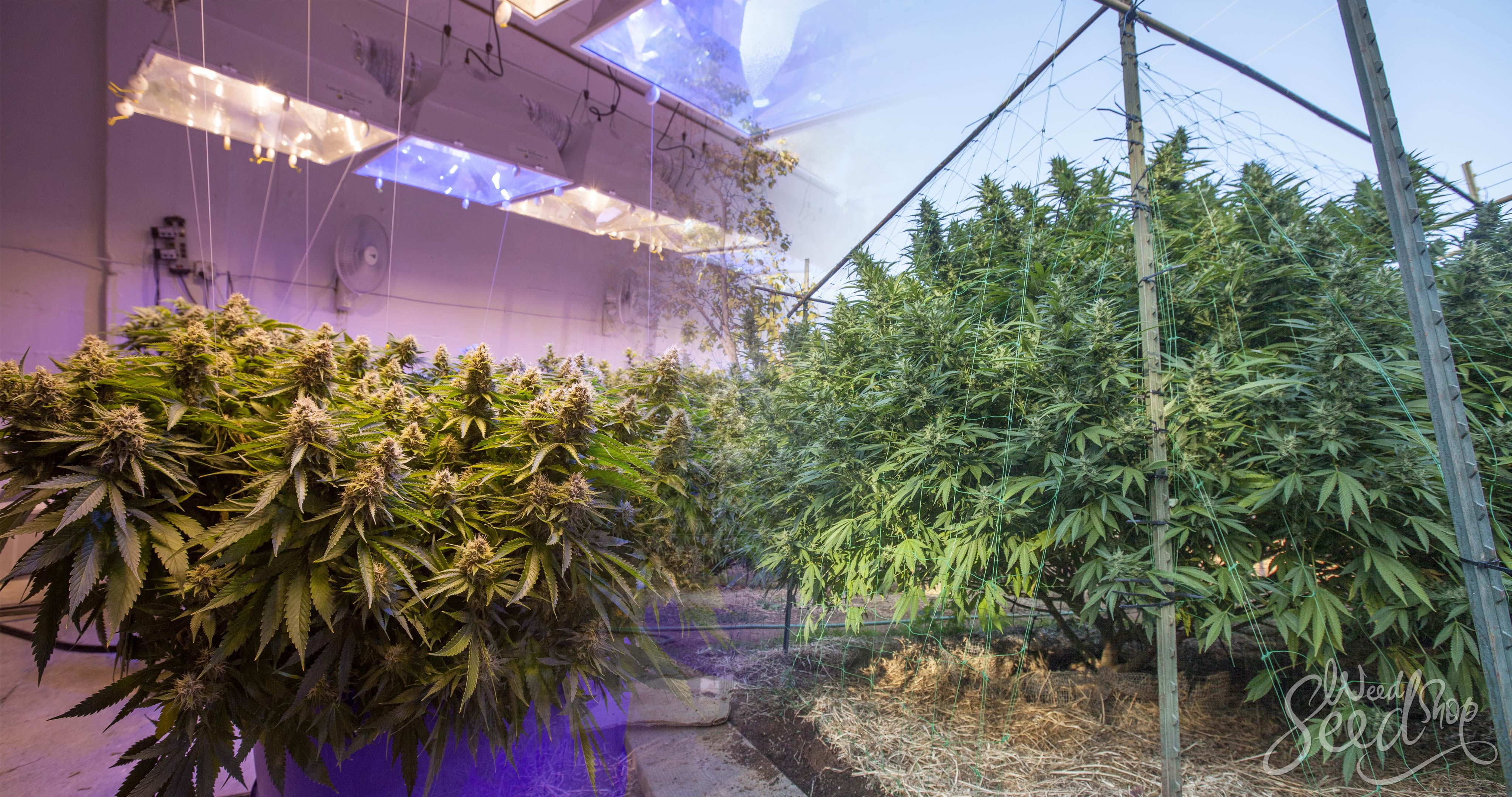 Outdoor vs. Indoor Growing Equipment - WeedSeedShop