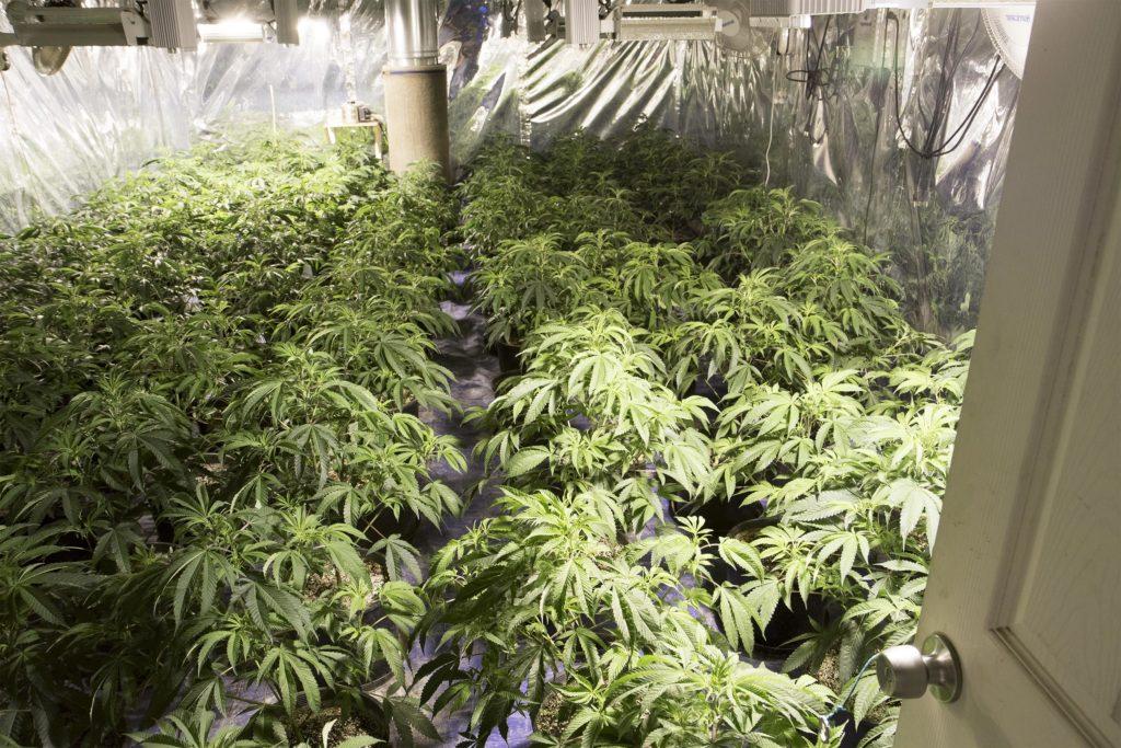 Le rapport entre marché noir et marché légal - WeedSeedShop