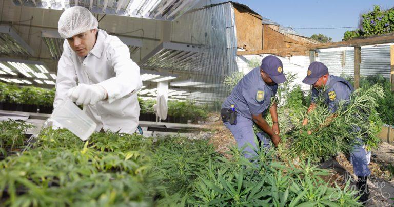 Explorando la relación entre el mercado negro y legal: ¿Por qué las personas siguen cultivando ilegalmente?