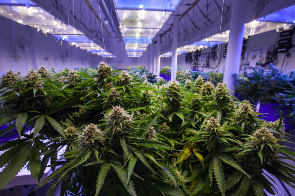 La relación entre el mercado negro y legal – WeedSeedShop