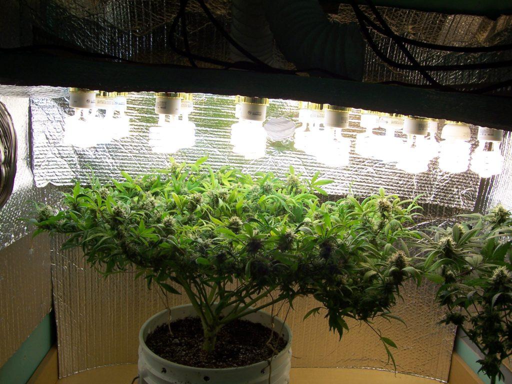 Grow Room Types Of Lighting Amp Impact On Yields Weedseedshop