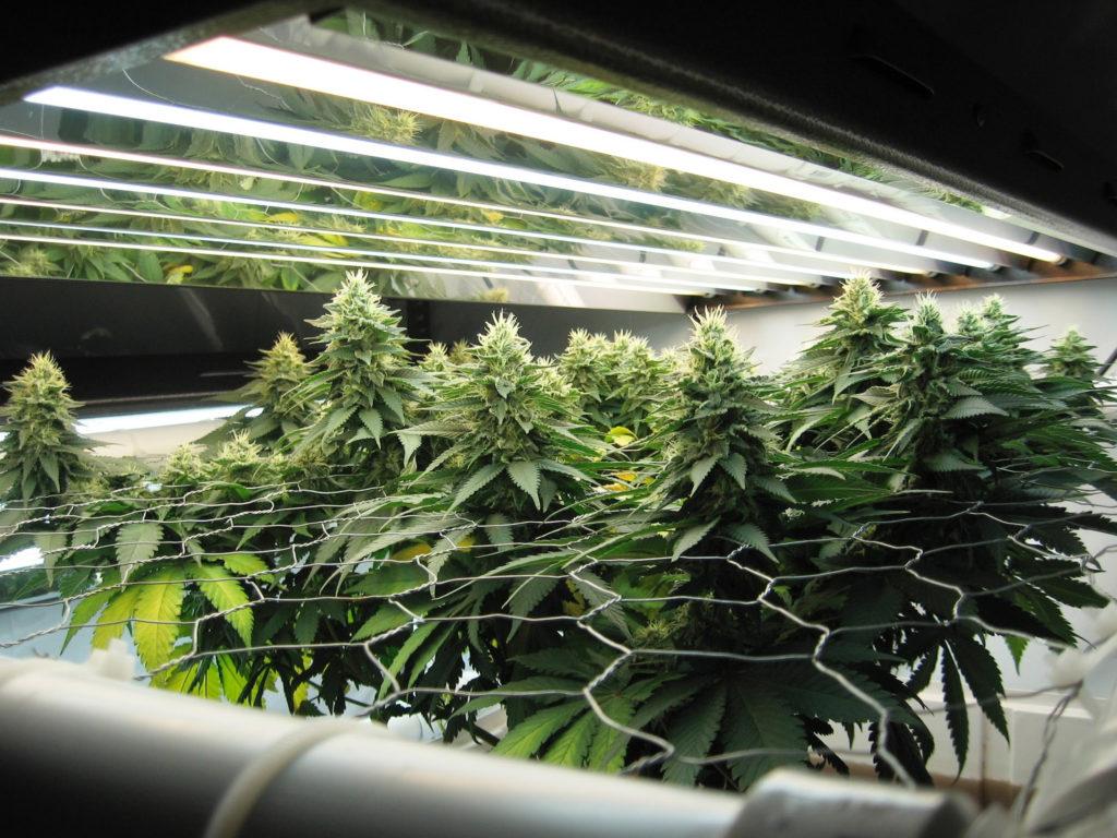 Grow Room: Types of Lighting & Impact on Yields - WeedSeedShop