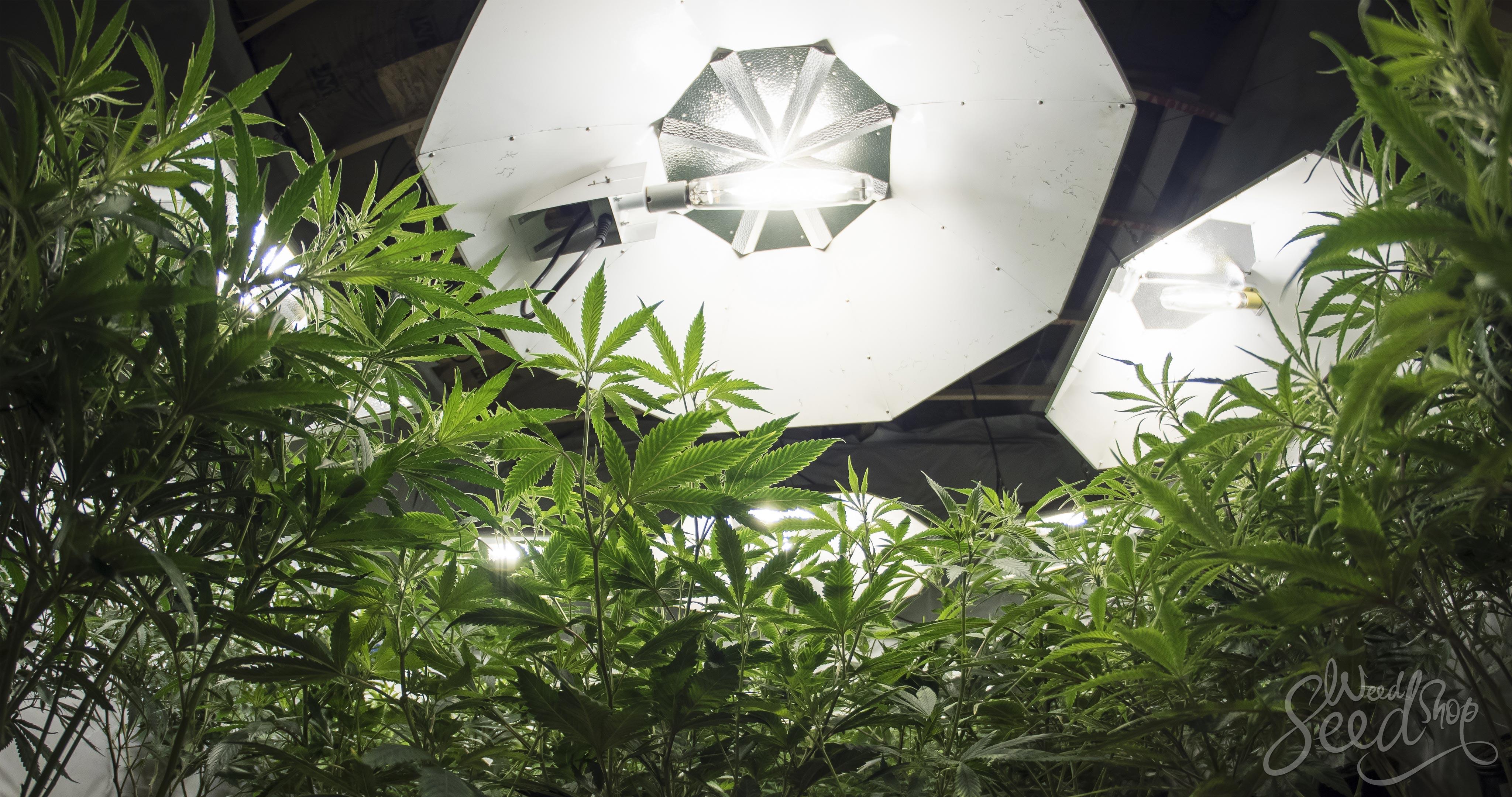 Wiet kweken 101: Lampen en hun impact op de oogst