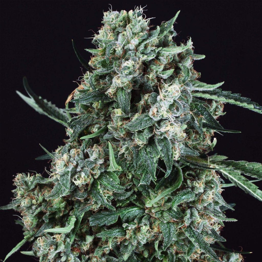 7 variétés de cannabis pour la créativité - WeedSeedShop