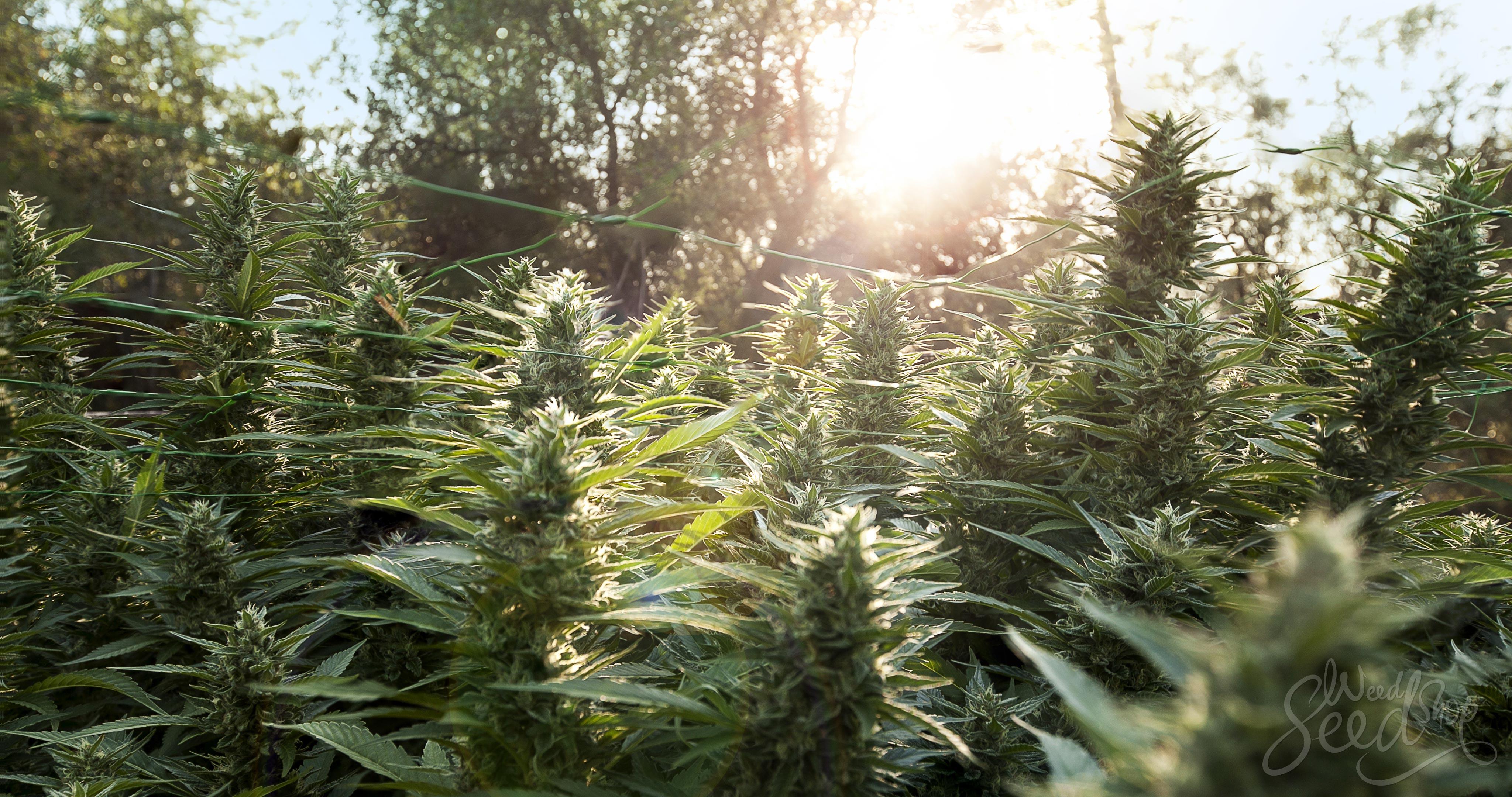 How To Grow Organic Marijuana – Essential Guide For an Organic Marijuana Garden