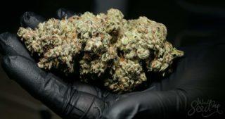 Quelle variété de cannabis produit les plus grosses têtes?