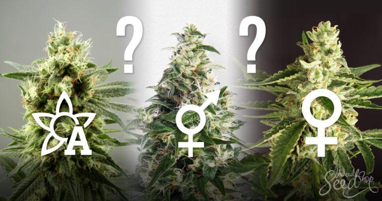 ¿Debería comprar semillas regulares, feminizadas o de autoflorecimiento?