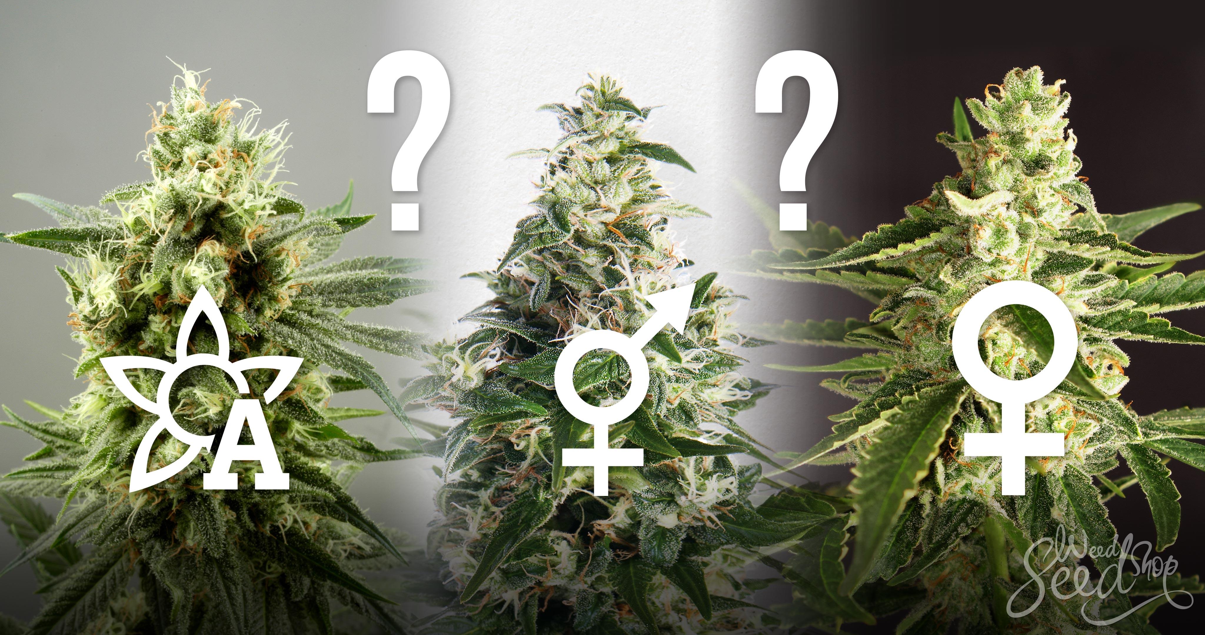 ¿Regulares, feminizadas o de Autofloración? - WeedSeedShop