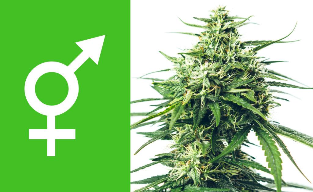 Buy Autoflowering, Feminized or Regular Seeds - WeedSeedShop