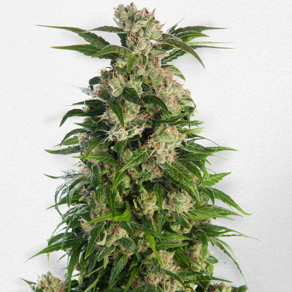 Trainwreck Feminized bud ready to be harvested with white background