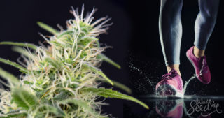 The 10 Best Sativa Strains That Increase Productivity