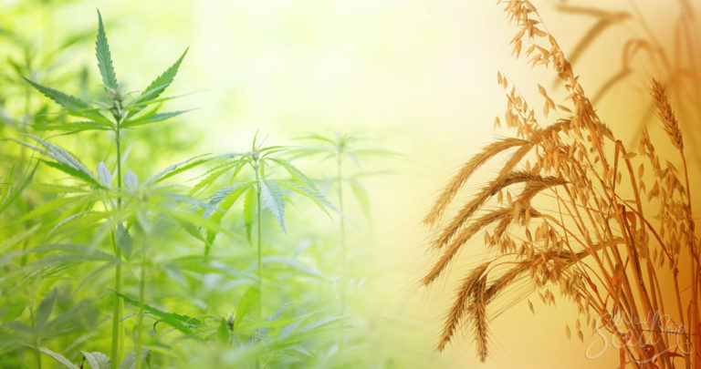 Die 4 Vorteile von Gründüngung für Cannabis