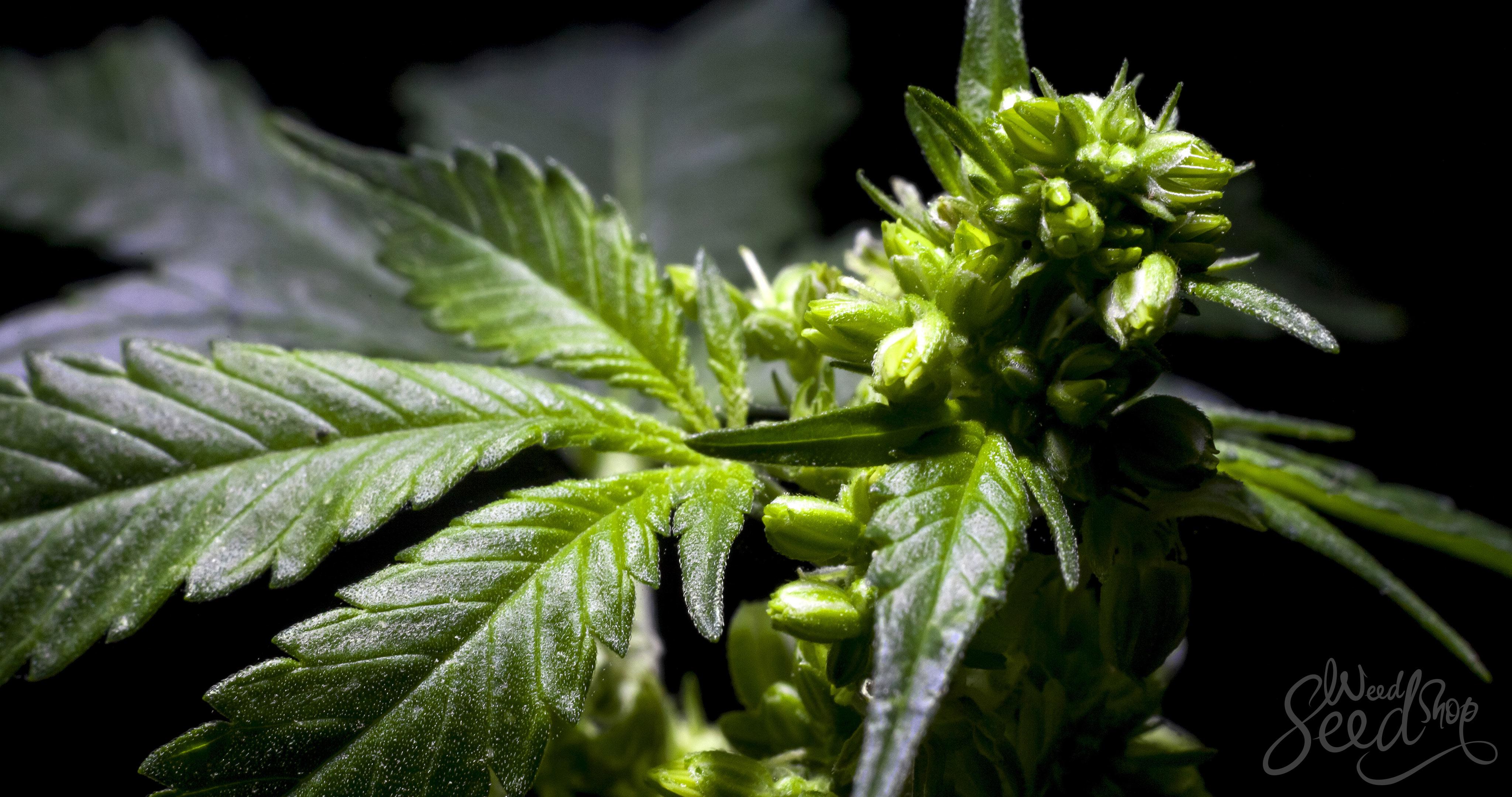 Männliche Pflanzen für die Zucht aussuchen - WeedSeedShop