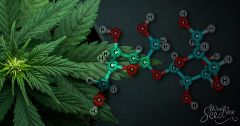 La distribution des sucres dans le cannabis