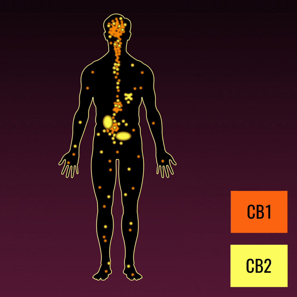 Wat is het endocannabinoïde systeem? WeedSeedShop