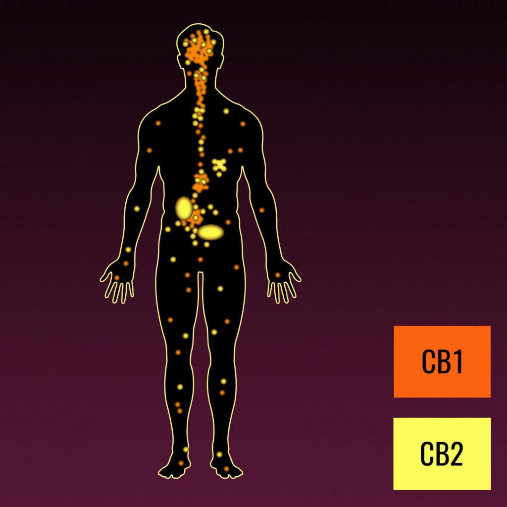 Le système endocannabinoïde – WeedSeedShop