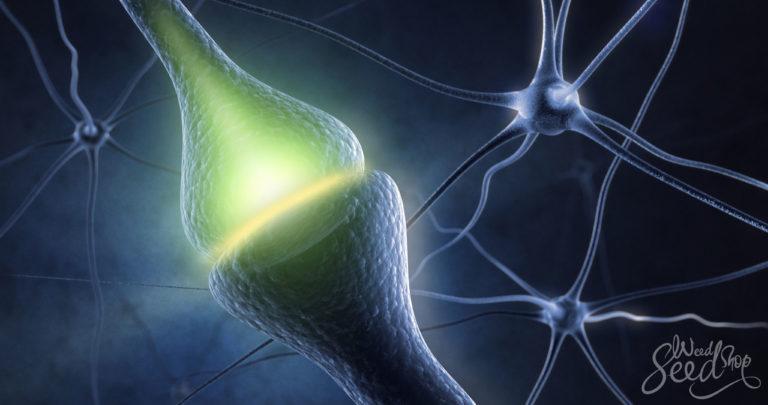 Het endocannabinoïde systeem voor beginners