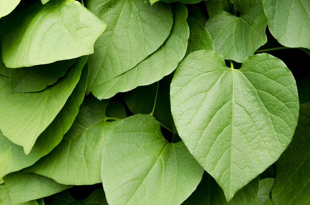 Diese 9 anderen Pflanzen enthalten ebenfalls Cannabinoide - WeedSeedShop