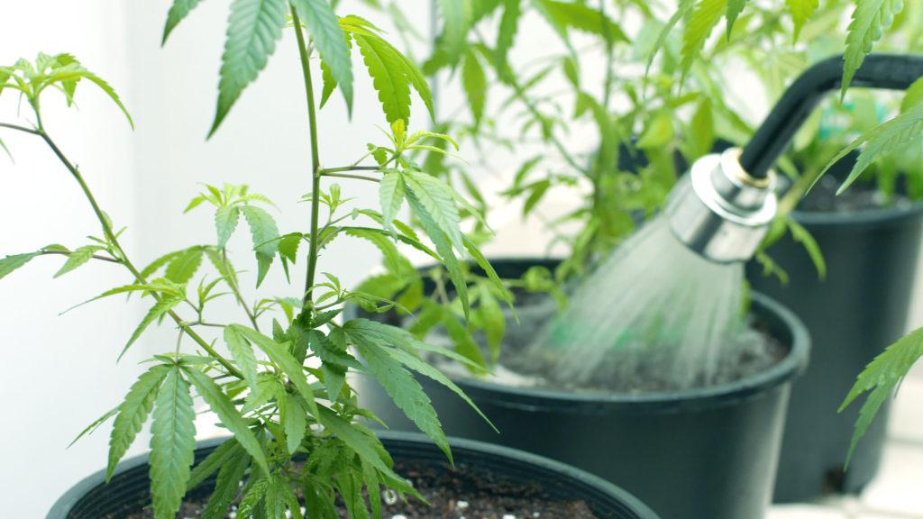 Top 10 der Anfängerfehler beim Cannabis-Anbau