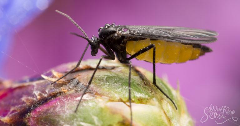 Les moucherons des champignonnières, comment s'en débarrasser ?