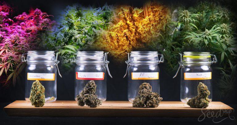 Qu'est-ce qui rend une variété de cannabis unique ?