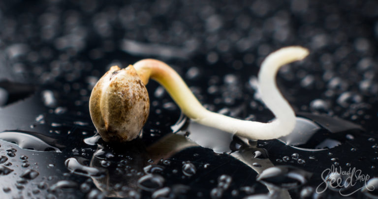 What You Need to Know to Germinate Cannabis Seeds