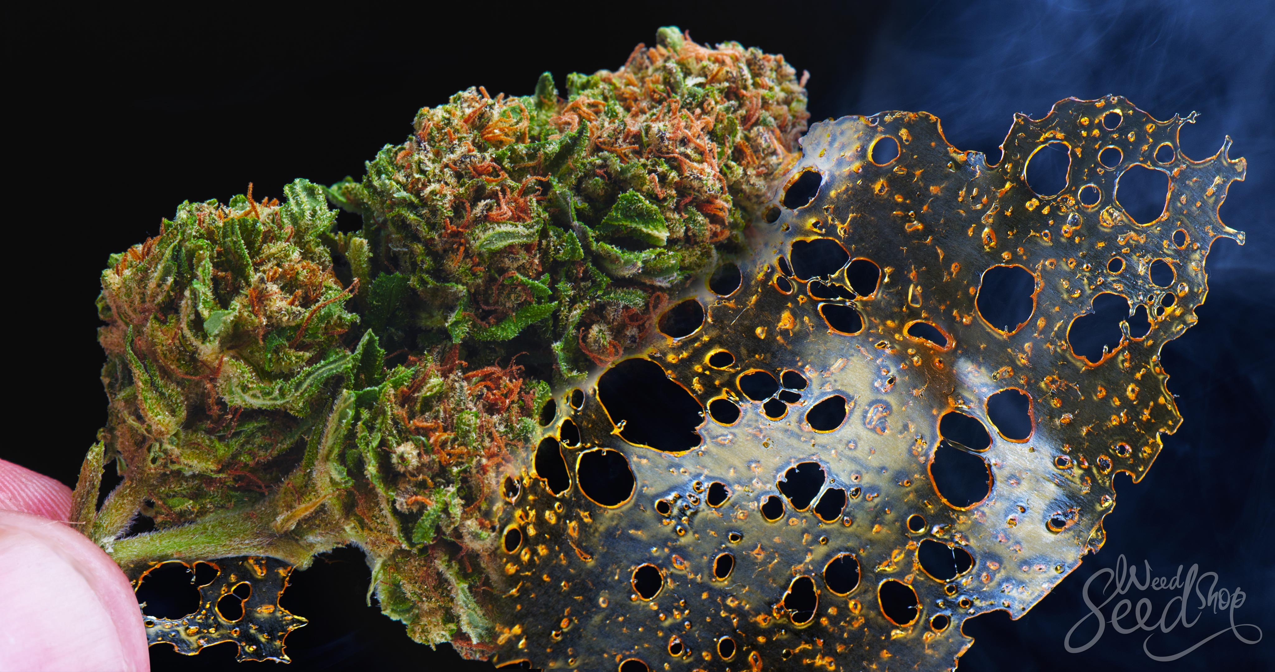 What is BHO and is it safe? – WeedSeedShop Blog