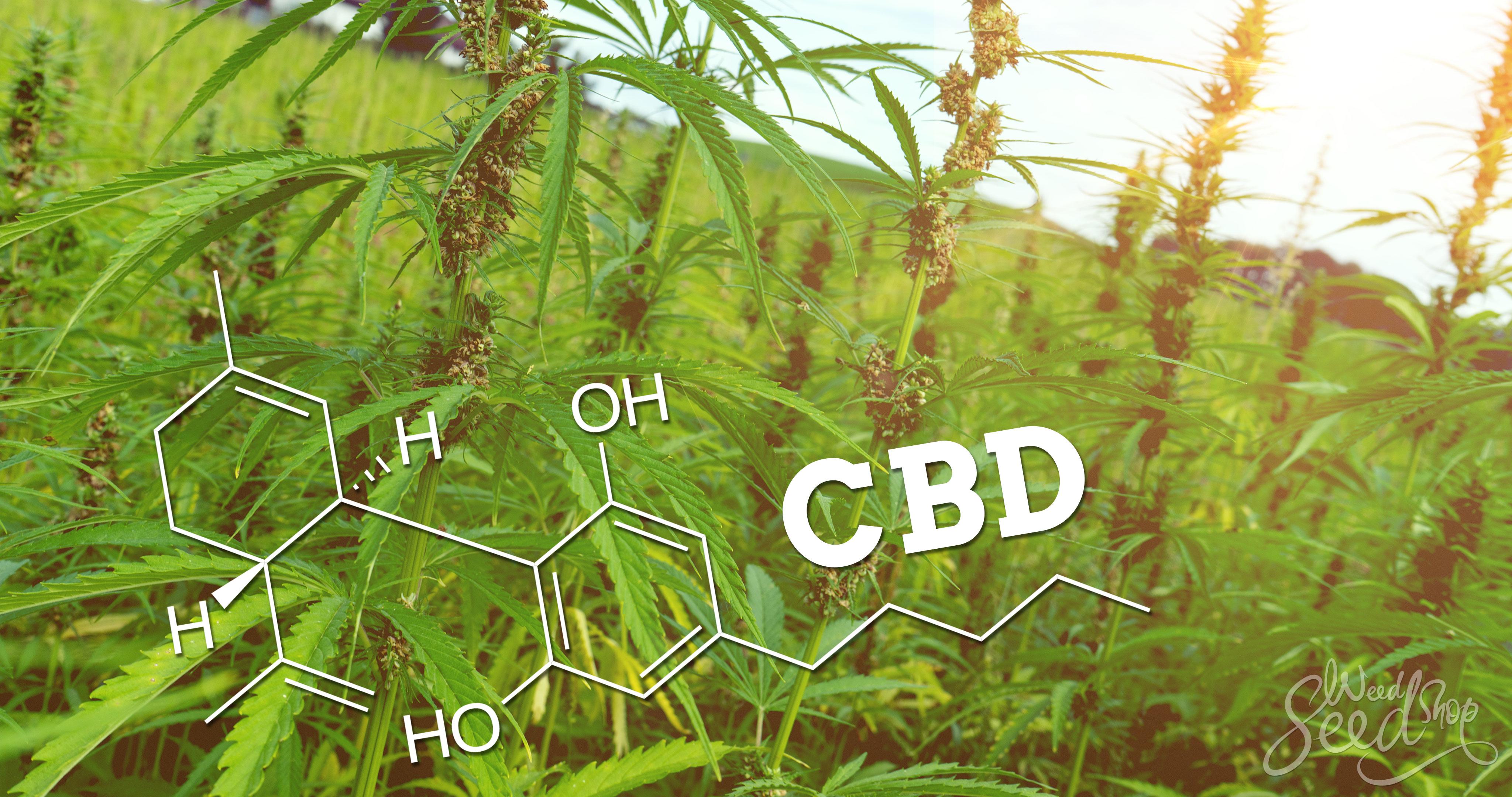 What is CBD (Cannabidiol)? The Basics - WeedSeedShop Blog