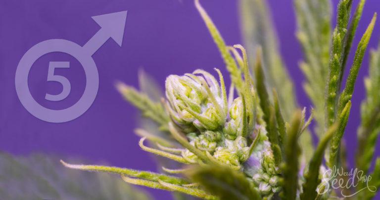 5 Gründe, um Deine männlichen Pflanzen nicht wegzuwerfen