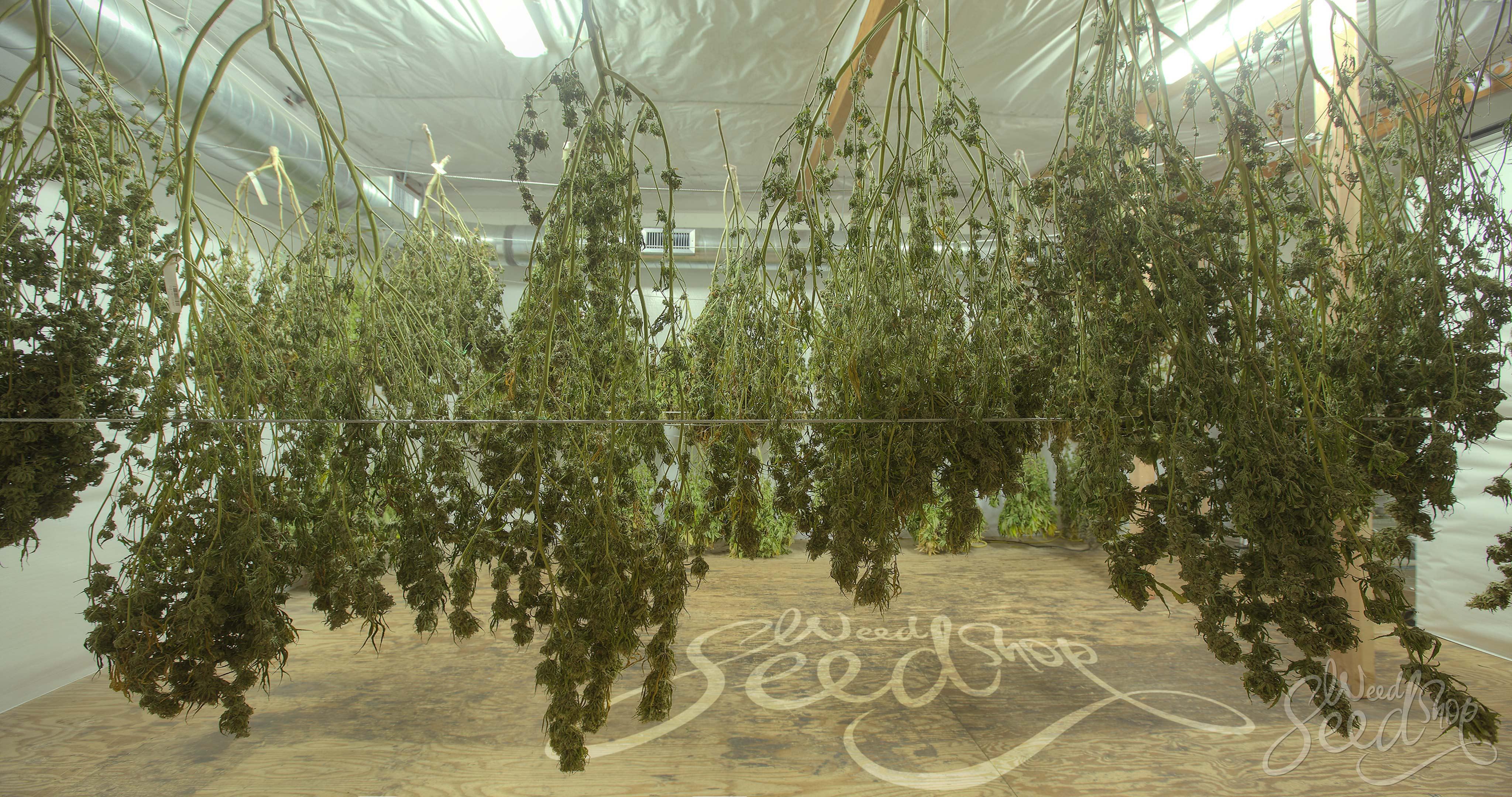 Wanneer en hoe oogst je je wietplant