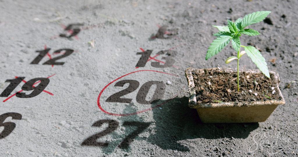 ¿Cuándo es el mejor momento para cultivar cannabis? - Weed Seed Shop Blog