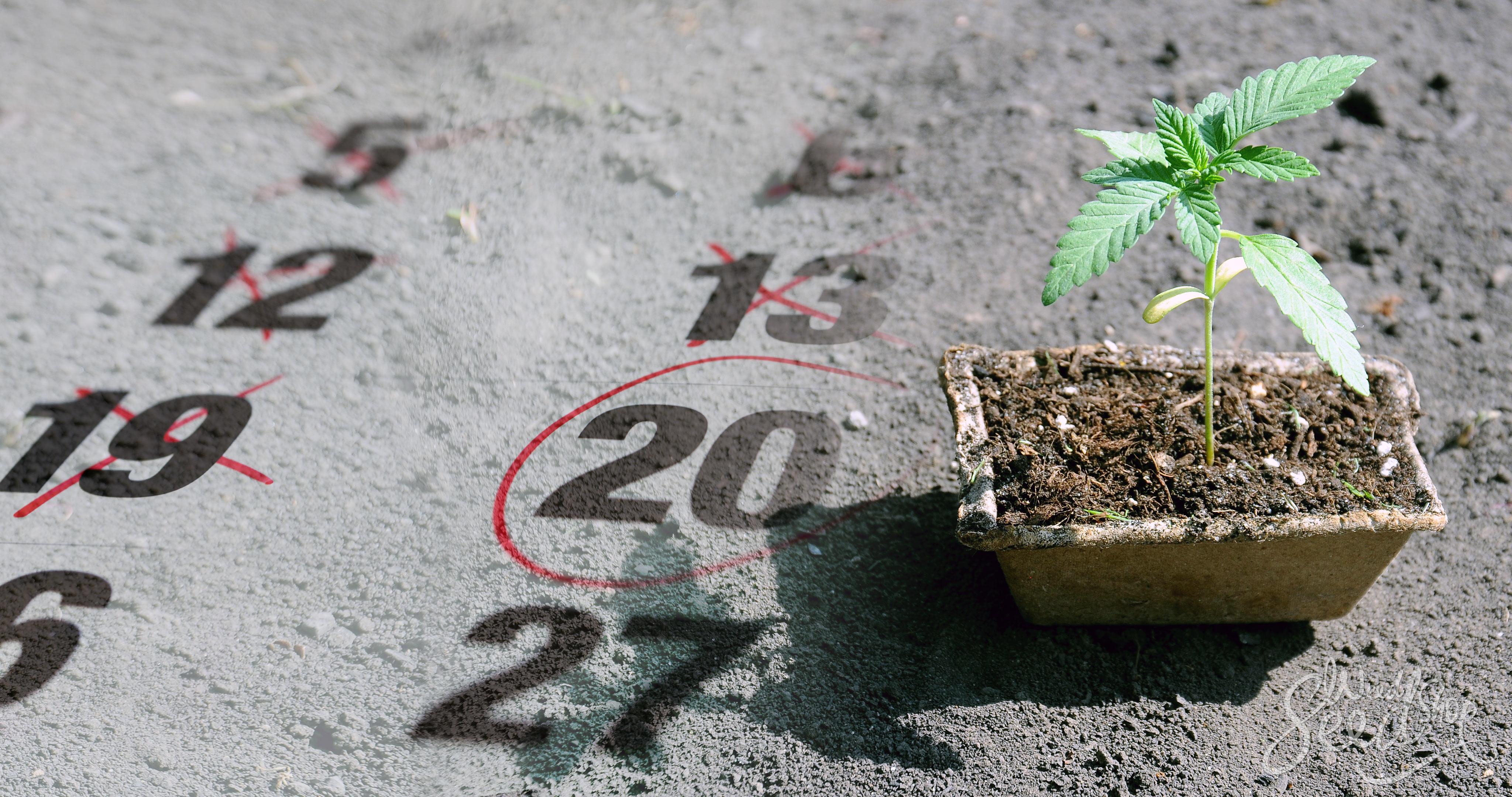 Quelle est la meilleure période pour cultiver le cannabis ? - Weed Seed Shop Blog