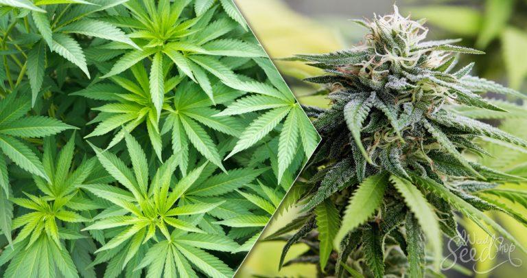 Wann Cannabis-Pflanzen zur Blüte bringen?