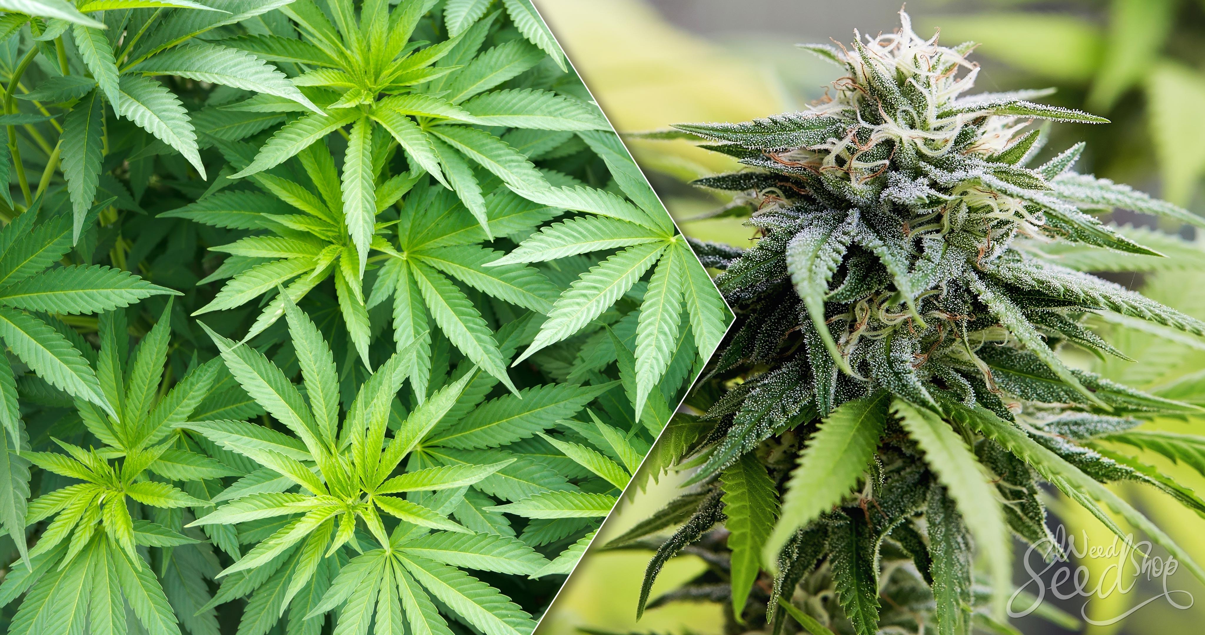 Wann Cannabis-Pflanzen zur Blüte bringen? Weed SeedShop