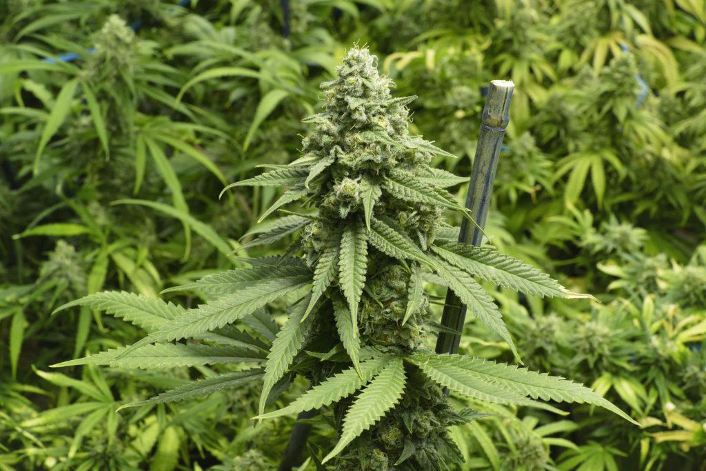 Plantmedicijnen & het entourage effect - WeedSeedShop