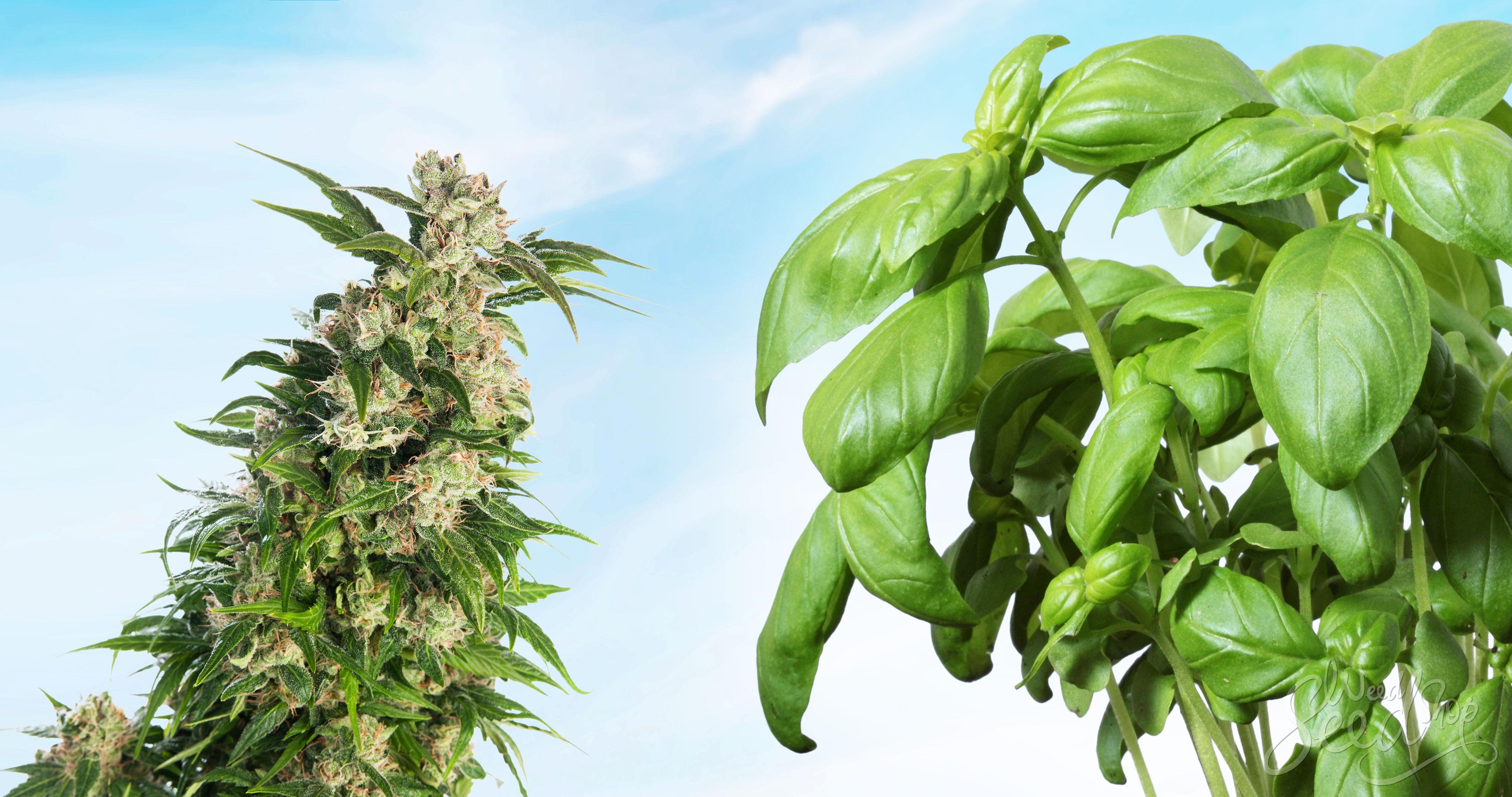 Warum und wie Begleitpflanzen ziehen? – WeedSeedShop