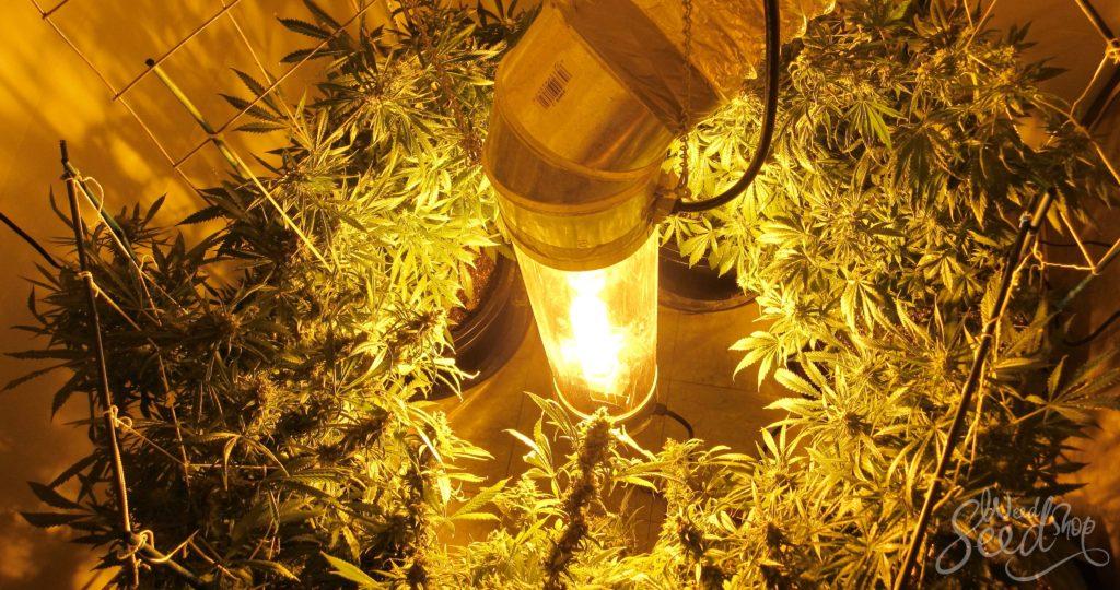 Wie man Marihuana vertikal anbaut