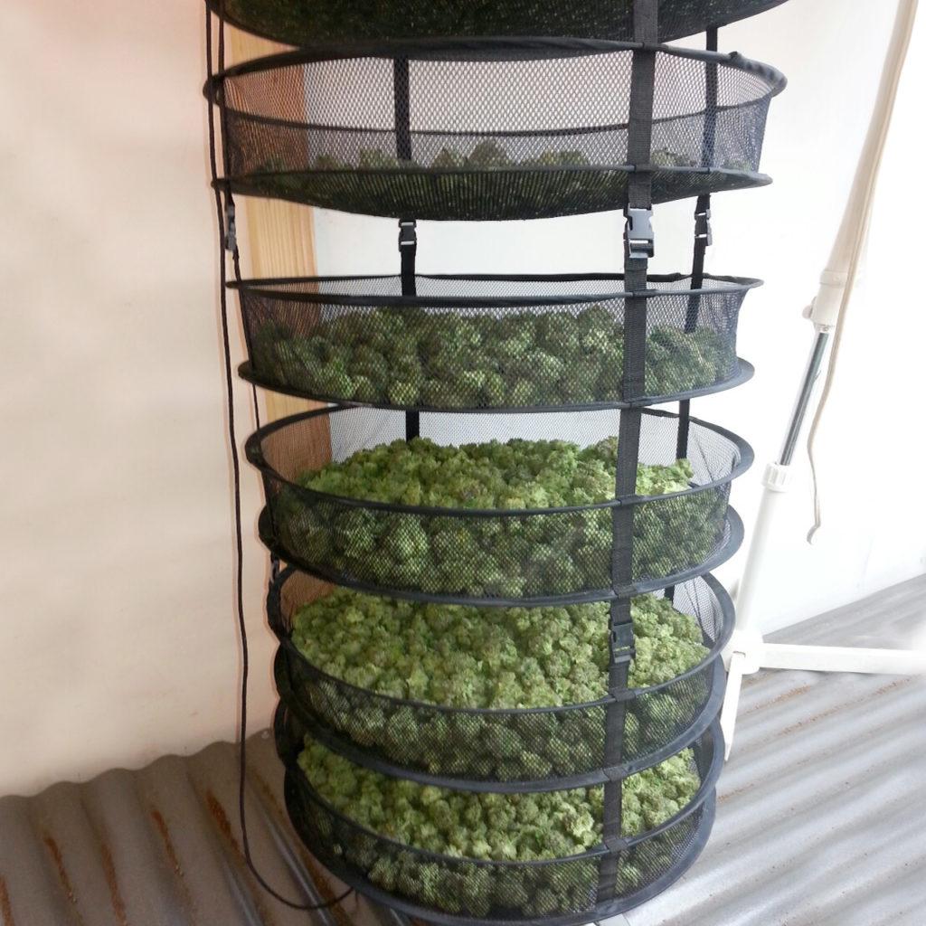 Cómo secar y curar tu cannabis apropiadamente