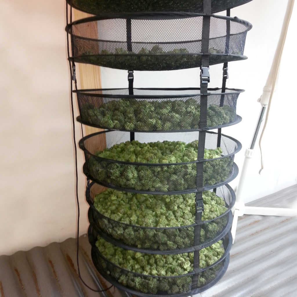How to Dry and Cure your Cannabis Properly