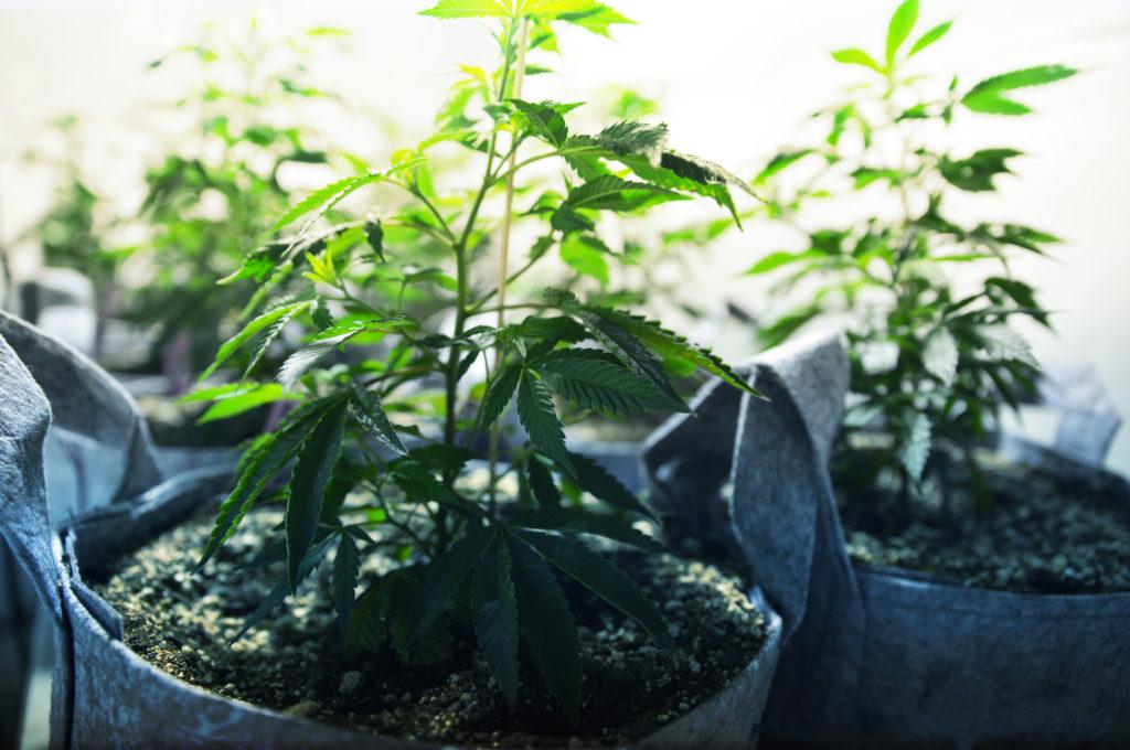 trasplantar una planta de marihuana– weedseedshop