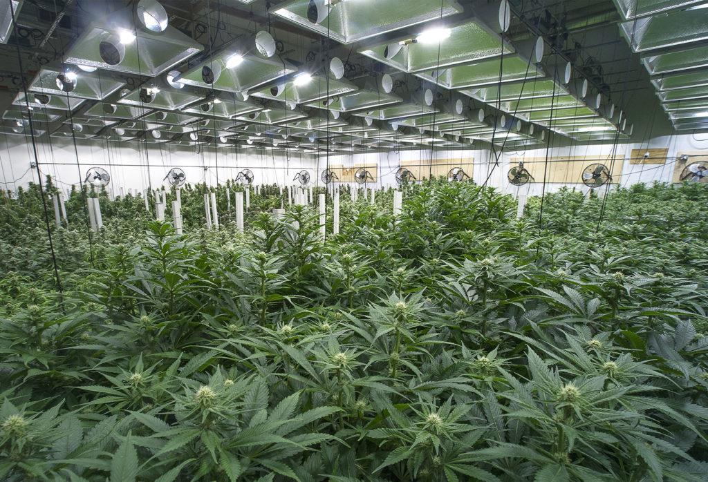 Semillas de cannabis para interiores vs. exteriores - ¿Cuál es la mejor para ti? - Weed Seed Shop Blog