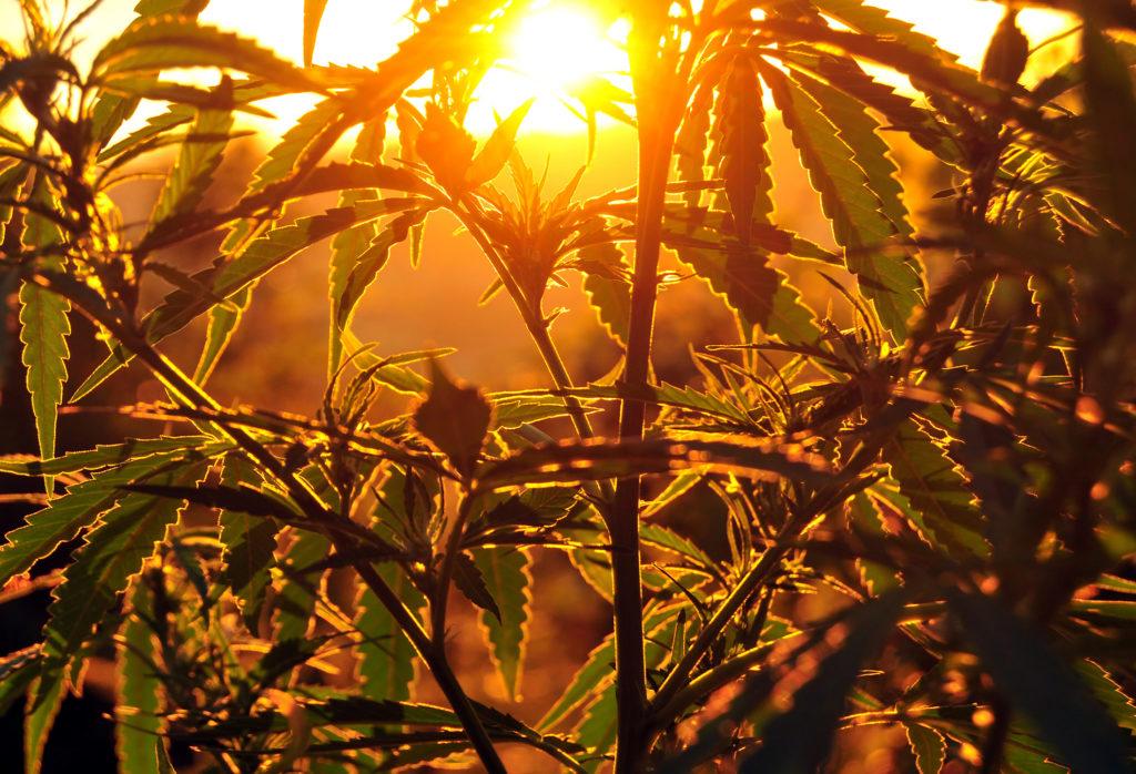 Cannabis indoor oder outdoor anbauen – Was ist das Richtige für dich? - Weed Seed Shop Blog
