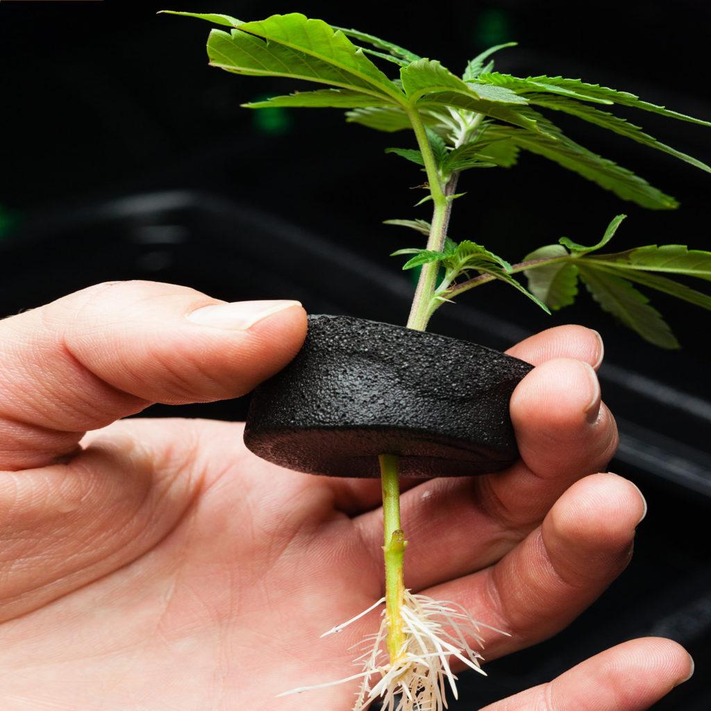 Anatomía básica del cannabis - Partes de la planta - Weed Seed Shop Blog