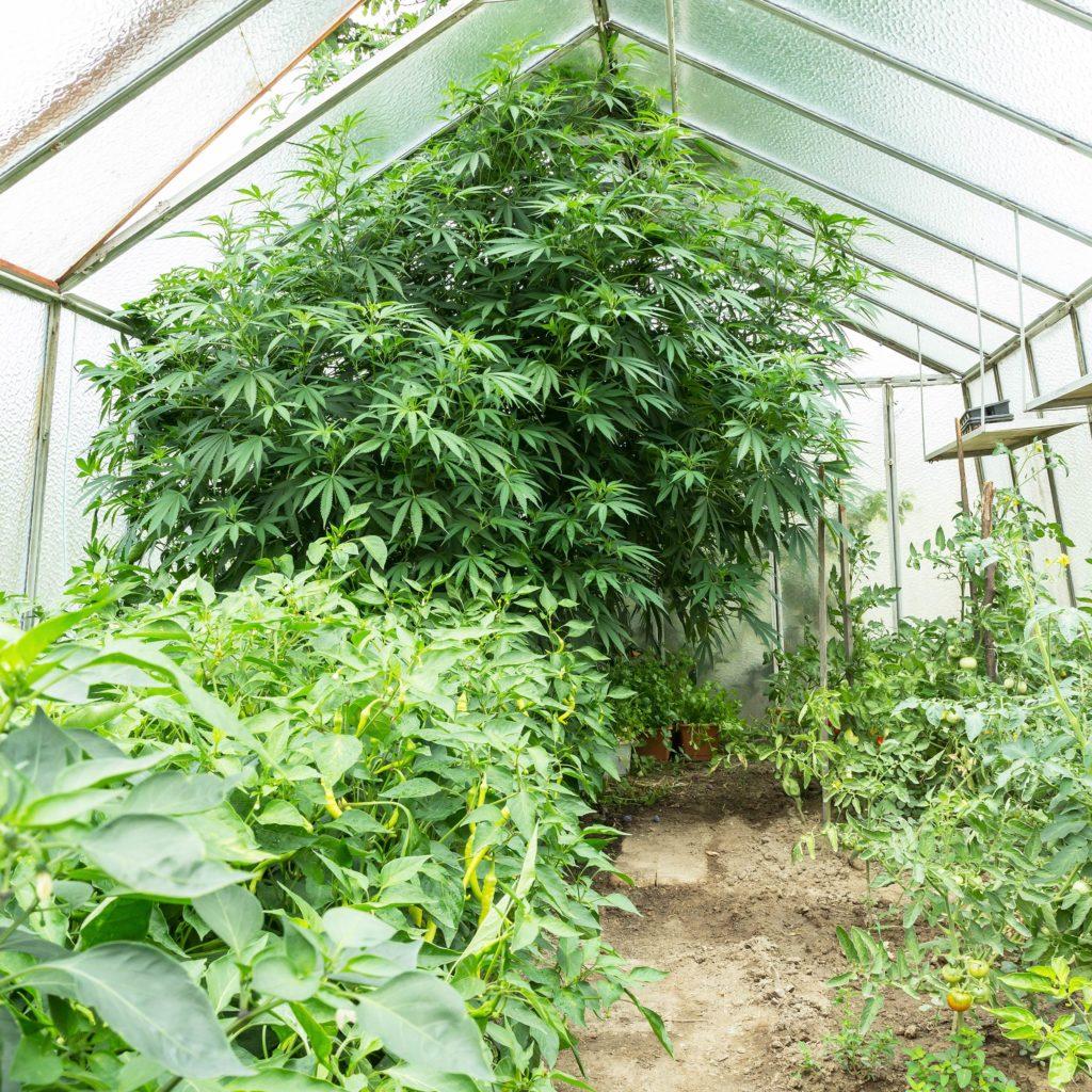 5 raisons de ne pas jeter tes plantes mâles - WeedSeedShop Blog